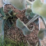 Sukkulente Aloe Pflanzsubstrat