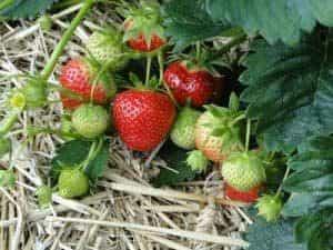 Naschgarten Erdbeeren