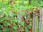 himbeere pflanzen naschgarten