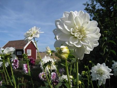 Dahlie Cottage Garden