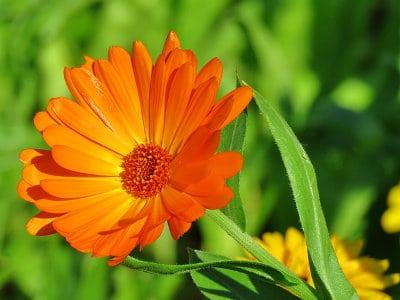 Ringelblume Gartentipps