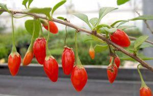Gojibeere Anti-aging Gartengestaltung