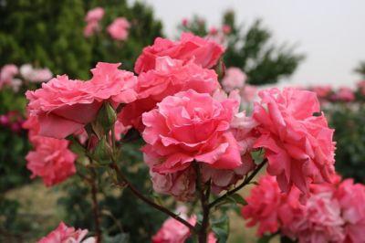alter garten alter rosenstock