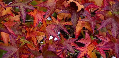 Amberbaum Herbstfärbung Gartenpflanze