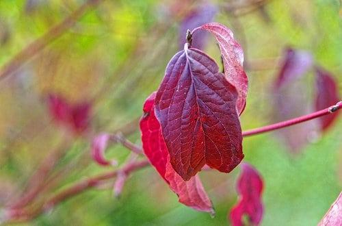 Cornus florida Herbstfarbe