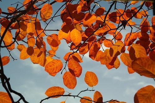 Felsenbirne Herbstlaub