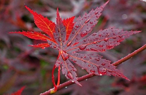 Fächerahorn Herbstfarbe