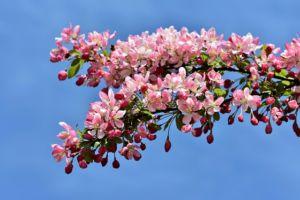 Zierapfel pflegeleichte gartenpflanzen