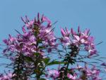 spinnenblume bienen balkon