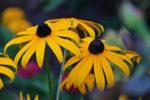 sonnenhut urban gardening bienen