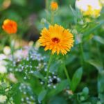 Ringelblume Kräutergarten Bienen