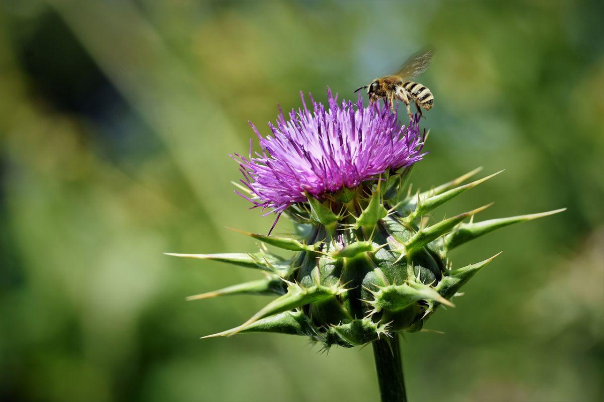 naturgarten bienen distel