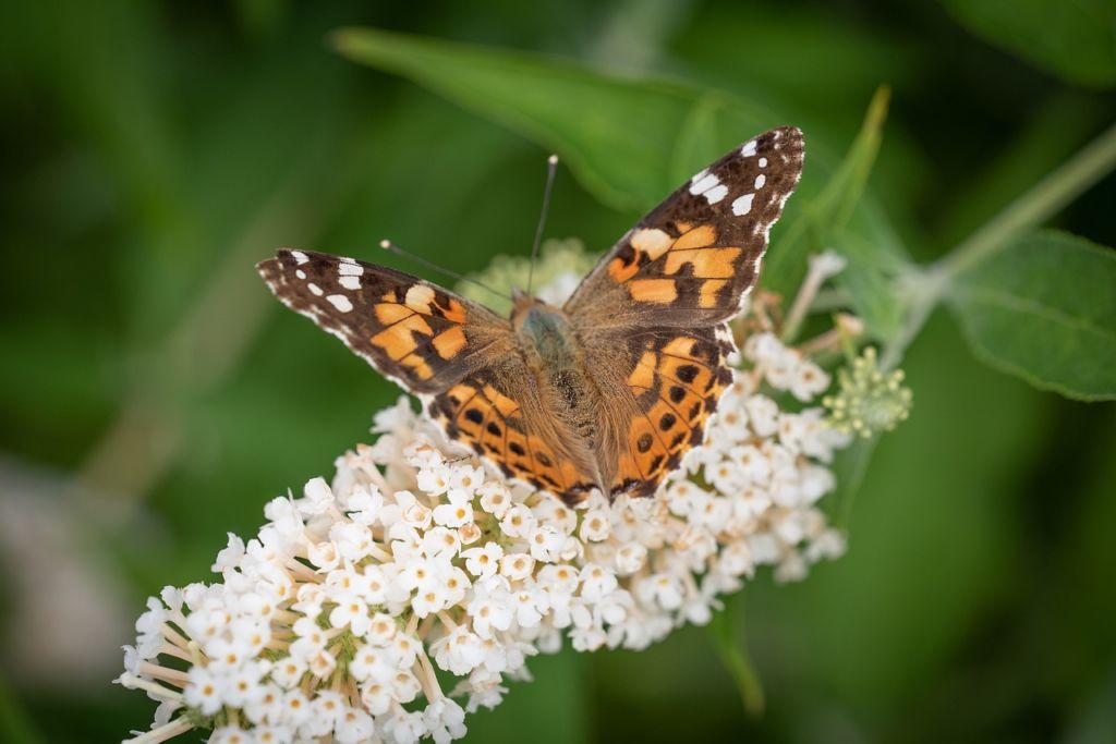 Sommerflieder Schmetterlinge Naturgarten