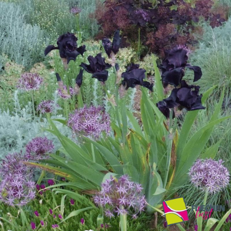 staudenbeet iris allium