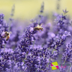 Lavendel Gartenbeet Biene