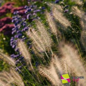 Lavendelbeet Ziergras