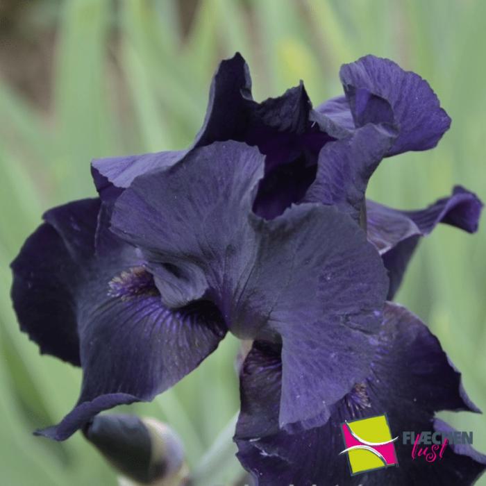 blumenbeet schöne blaue iris