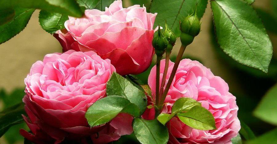 duftgarten rosengarten Garten Wellness