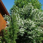 Duftgarten Bauernjasmin