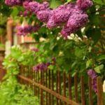 flieder duftpflanze