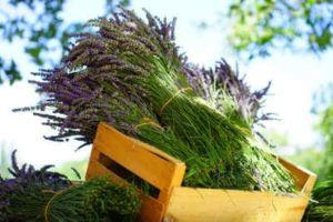 Lavendel Duft im Garten