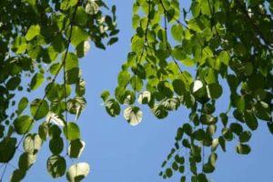 Lebkuchenbaum duftendes Blatt Gartengestaltung