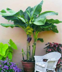 banane gartenblog zimmerpflanzen