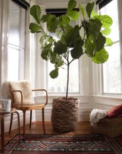 geigenfeige zimmerbaum indoor garten