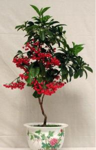 kaffeestrauch zimmerpflanze rote früchte