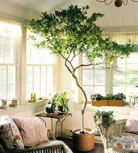 schwarze olive zimmerbaum