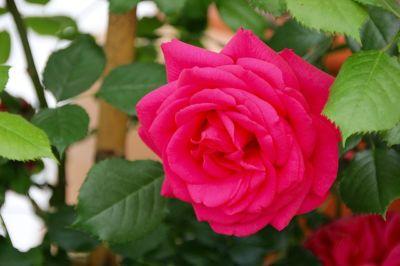 rosen garten im juni