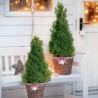 Zwerg Nadelpflanzen für den Winter am Balkon