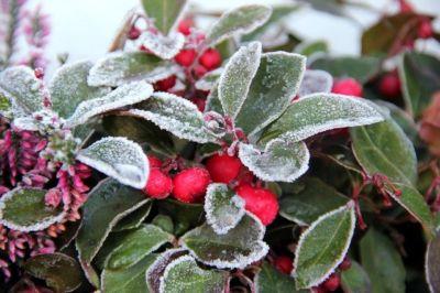 skimmie winterpflanze balkon