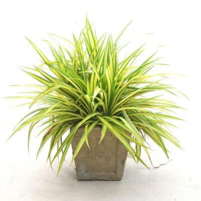 grünlilie zimmerpflanze schlafraum