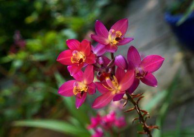 trauben orchidee zum einschlafen